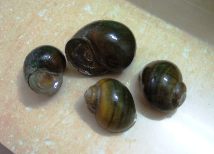 Japanese Trapdoor Snails picture