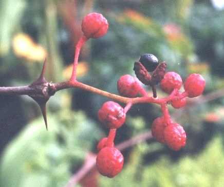 Zanthoxylum piperitum: Ripe fagara fruits