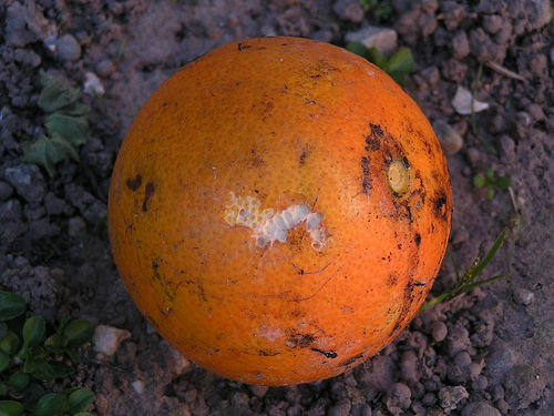 Tips to identify rotten orange