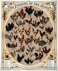 Chicken varieties