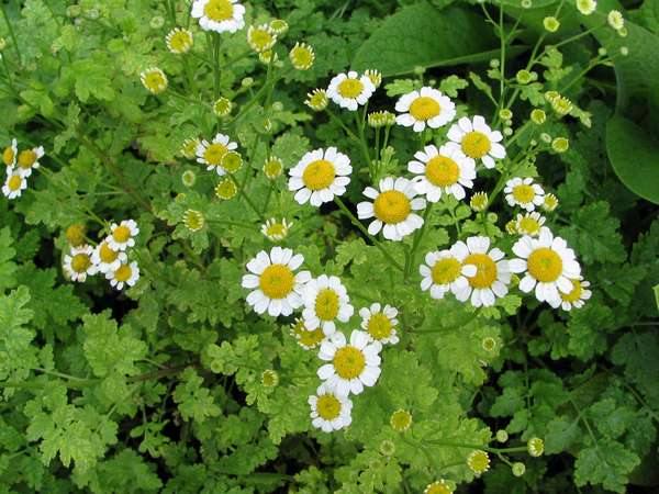 Feverfew plant - traditional remedy for headache