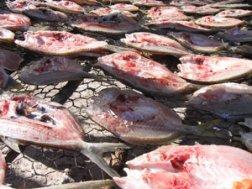 Sun drying of fish.