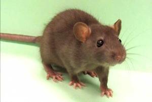 Rat Hair
