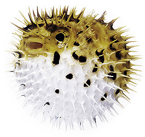 Puffer fish, although an Asian delicacy, can be extremely poisonous.