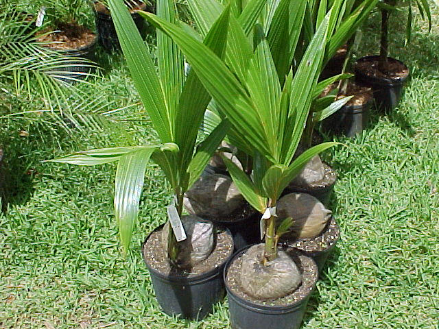 How to plant coconut in pots