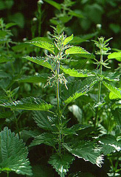 Nettle tea for hair growth
