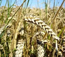 Wheat side effects