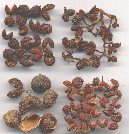 Zanthoxylum piperitum/alatum/acanthopodium/rhetsa: Four regional types of szechwan pepper