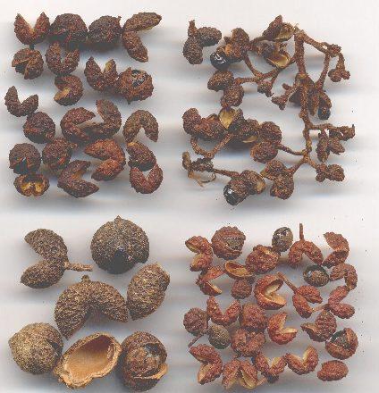 Zanthoxylum piperitum/alatum/acanthopodium/rhetsa: Four regional types of szechwan pepper