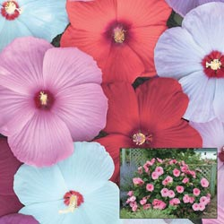 Perennial Hibiscus Mix - One Cent Sale!