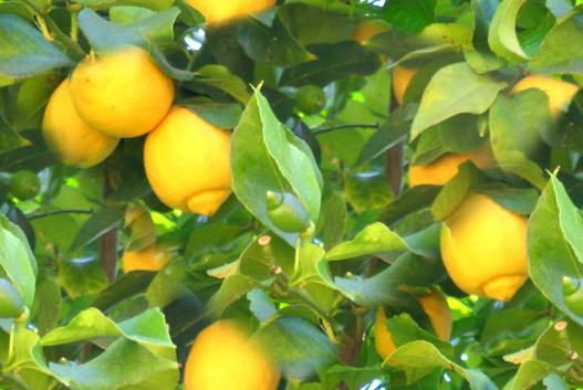Any size of lemon can be used to make lemon slice