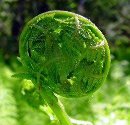How To Pick Fiddlehead Ferns