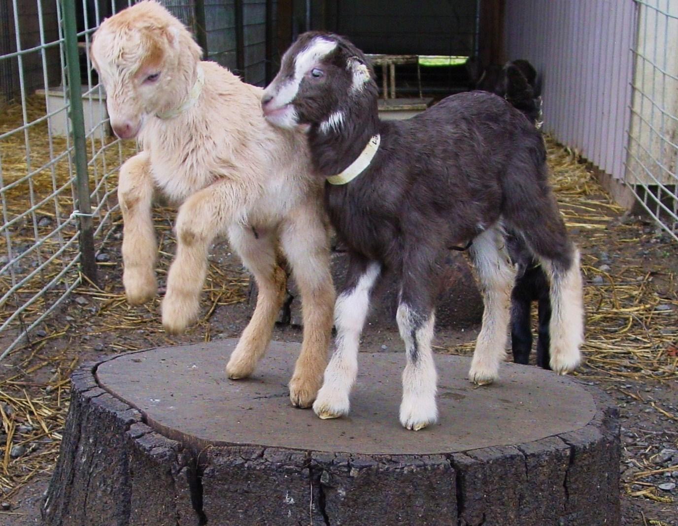 prancing goat