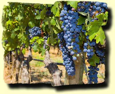 Chile Wine Tour--Vineyard