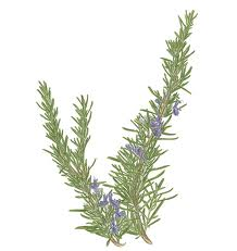How to cut rosemary