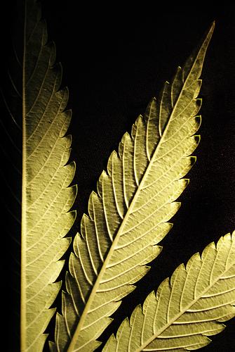 Marijuana is getting very popular as a nutritive source