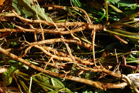 How to harvest dandelion roots