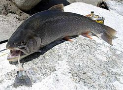Arctic Char Fish