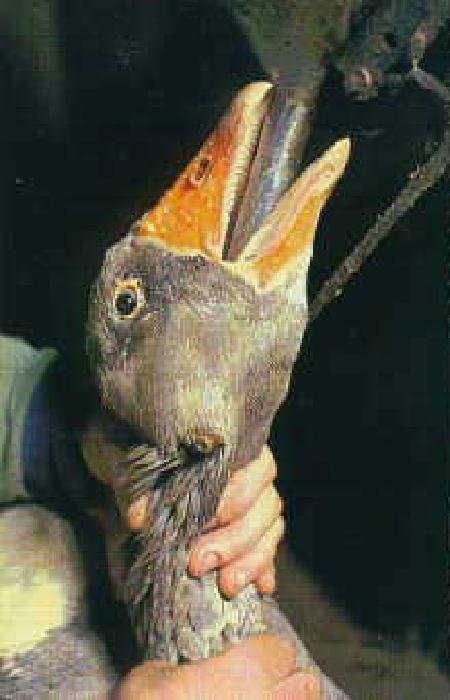 Foie Gras ban 2