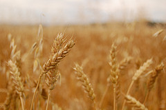 How to clean wheat
