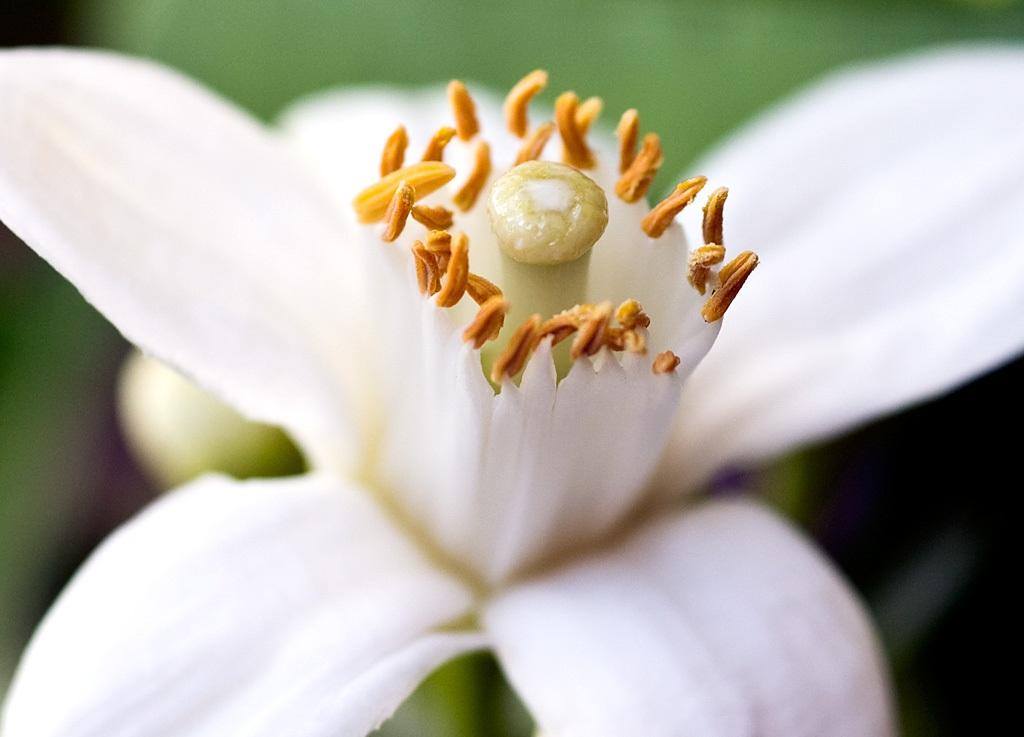 how to make orange blossom perfume