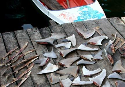 Shark fin soup 3