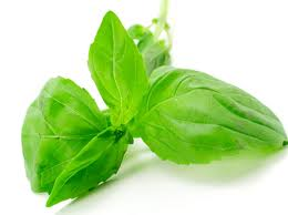Basil Medicinal Uses -- Fresh Basil Leaf