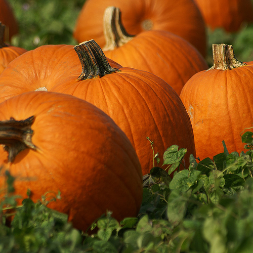 Beautiful Orange and Ripe Pumpkins