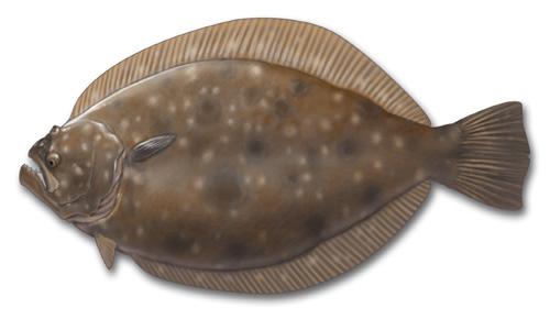 flatfish-fluke