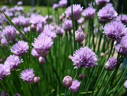 Chive onions