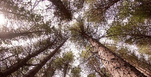 Pycnogenol are Pine bark extract