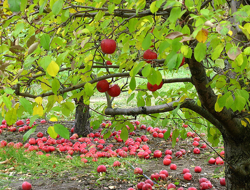 To grow an apple orchard, you need a lot of skill, knowledge, patience and effort.