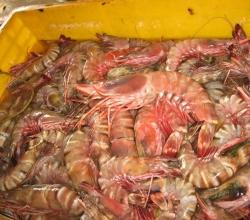 Defrosting lobster