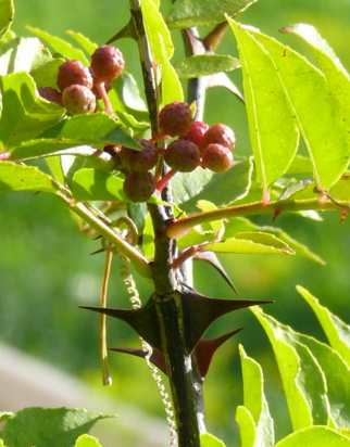 Zanthoxylum simulans: Huajiao (Sichuan pepper) with prickle and fruit