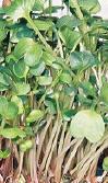 Microgreens daikon radish