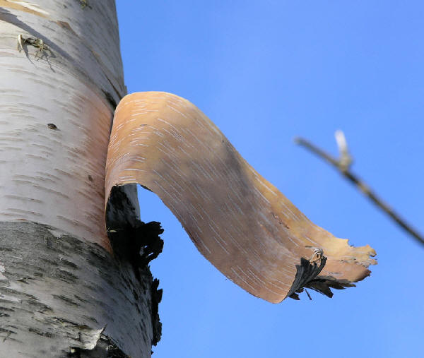 Birch bark promises good health