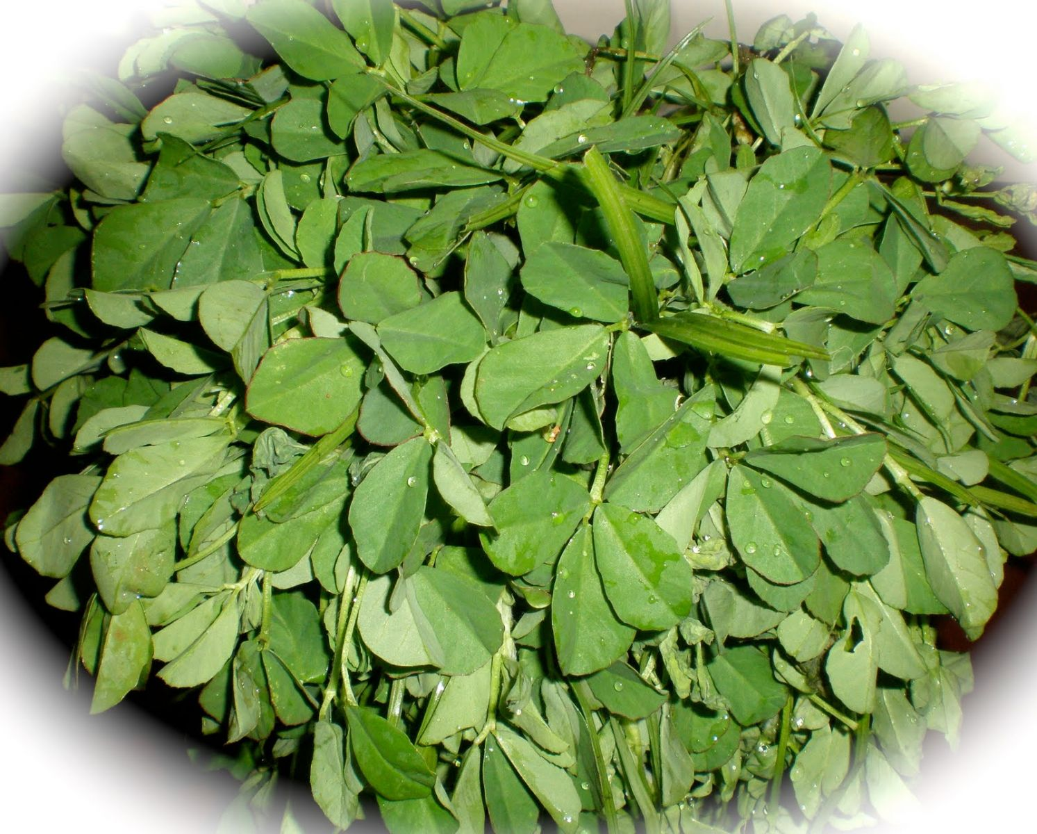 Fenugreek leaf benefits