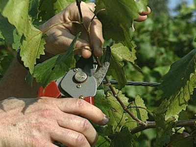 Pruning of grape plants