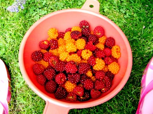 Berries - Angelina's Diet Secret