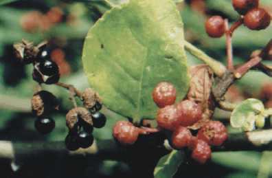 Zanthoxylum sp.: Sichuan pepper (?) fruits