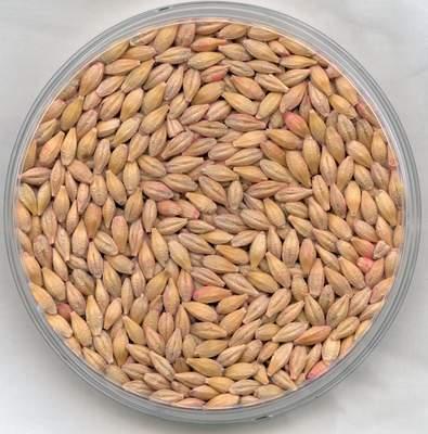Barley side effects