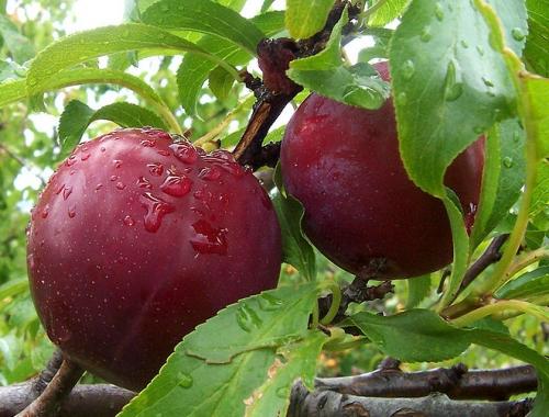 plump plums