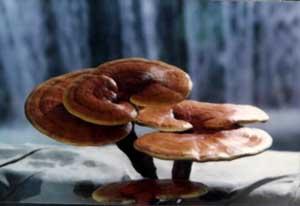 reshi mushroom