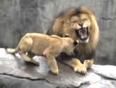 6-month-old Lion Cubs Finally Meet Their Dad