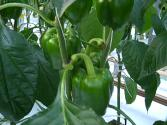 Tips To Grow Sweet Peppers