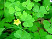 Clover Or Wood Sorrel And Is Nutritional Yeast Raw