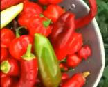 Datil Peppers Introduction