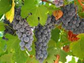 Grapes: Lowers Bp And Keeps Heart Healthy