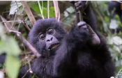 How To Book Your Gorilla Trek - Rwanda
