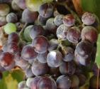 Have You Heard Of Vitis Vinifera?